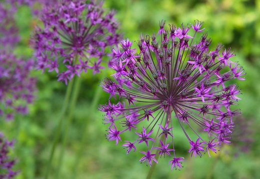 allium-hollandicum