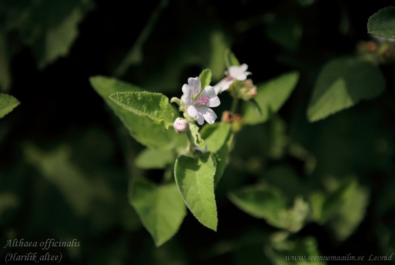 althaea_officinalis2a.jpg