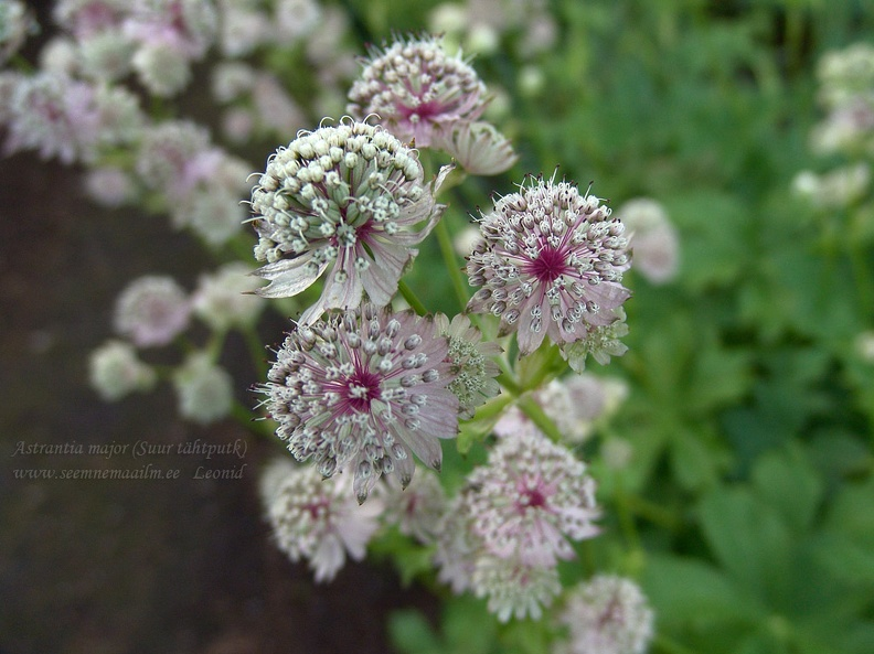 astrantia_major.jpg