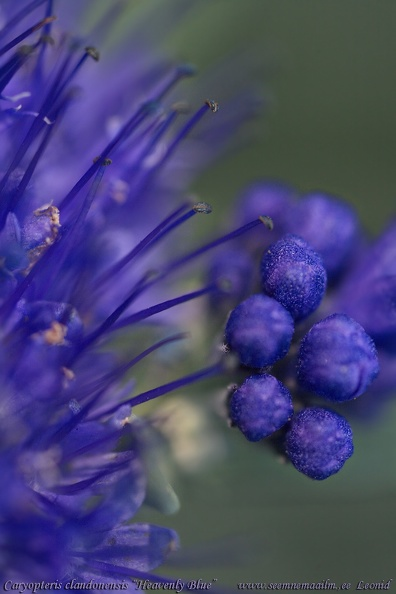 caryopteris-clandonensis-heavenlyblue.jpg