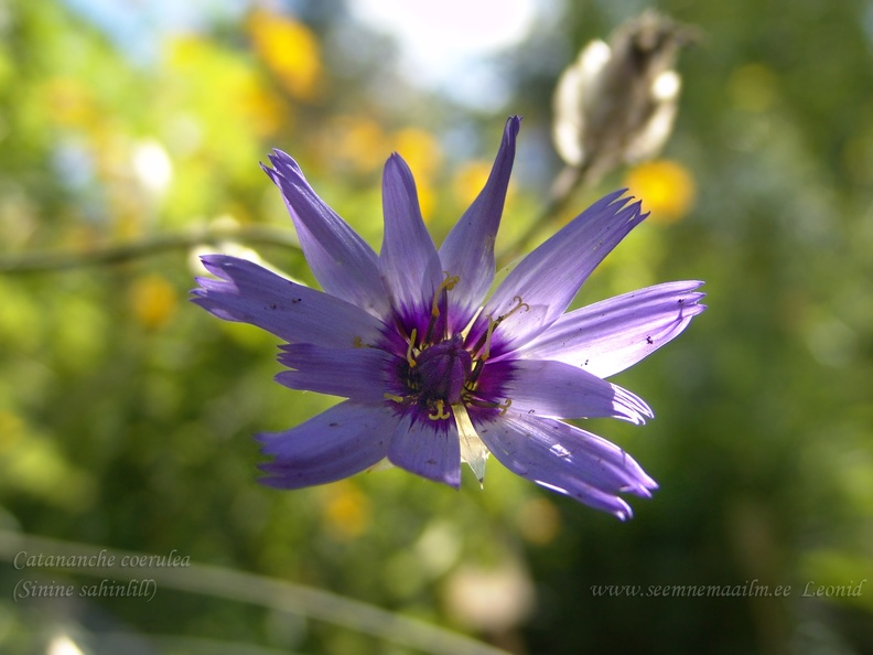 catananche_coerulea.jpg