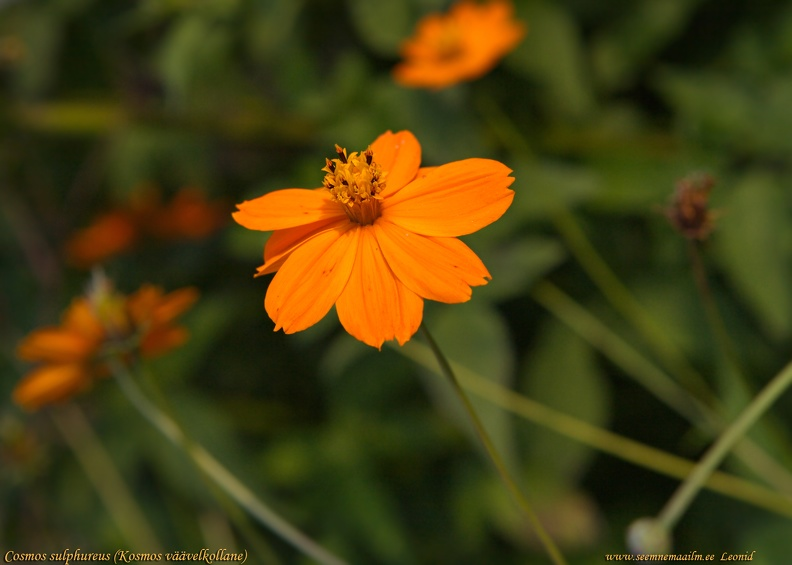 cosmos-sulphureus-orange.jpg