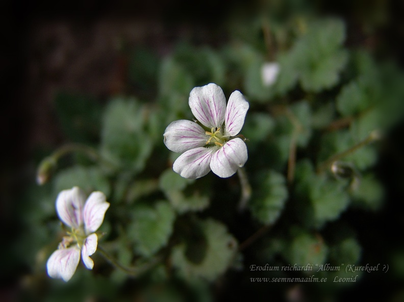 erodium_reichardii.jpg