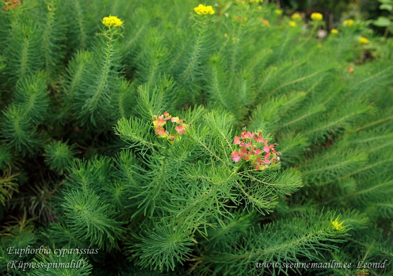euphorbia_cyparissias.jpg