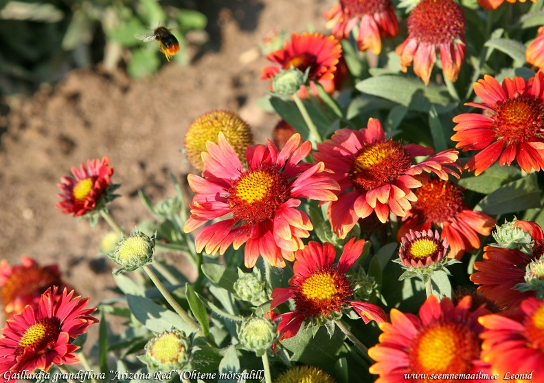 gaillardia-grandiflora-arizona-red.jpg