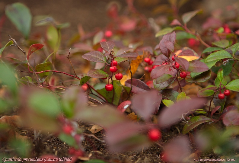 gaultheria-procumbens-october.jpg