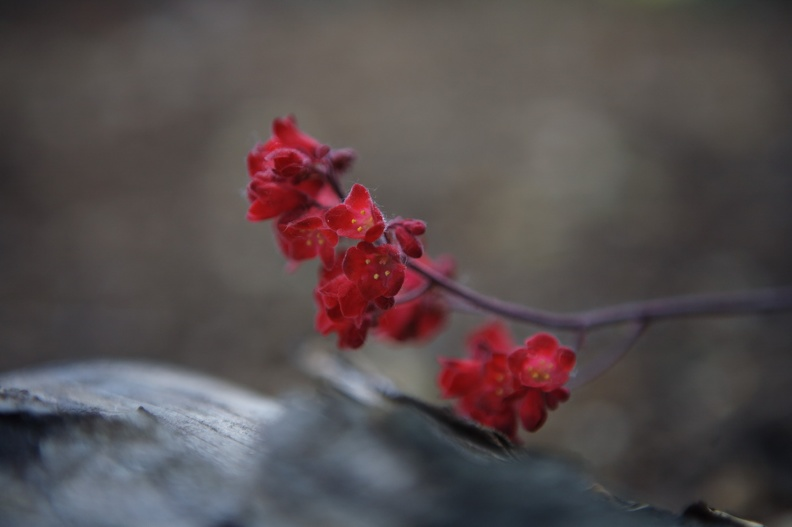 heuchera_blood_red.jpg