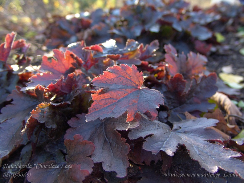 heucherella_chocolate.jpg