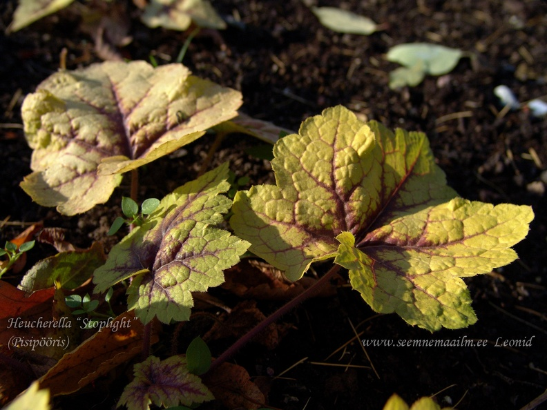 heucherella_stoplight.jpg