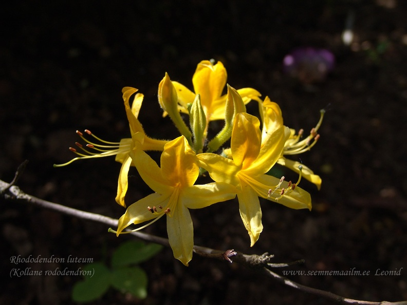 rhododendron_luteum2.jpg
