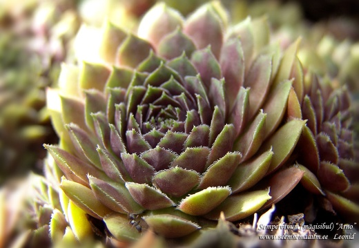 sempervivum arno