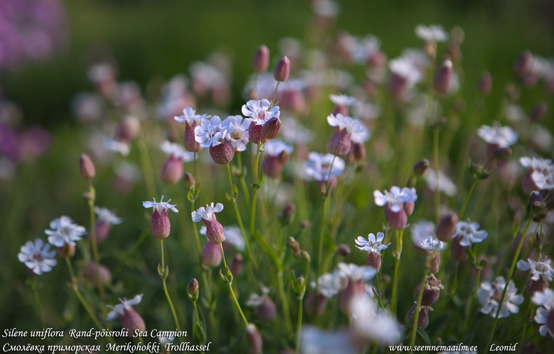 silene-uniflora-sea-campion.jpg