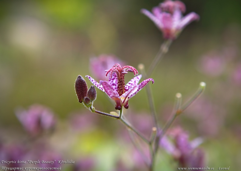 tricyrtis-purple-beauty-koreliilia.jpg